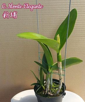 "Орхидея азиатская. Под Заказ! C. Monte Elegante. Размер: 3.5"" / 4.5""., фото 3"