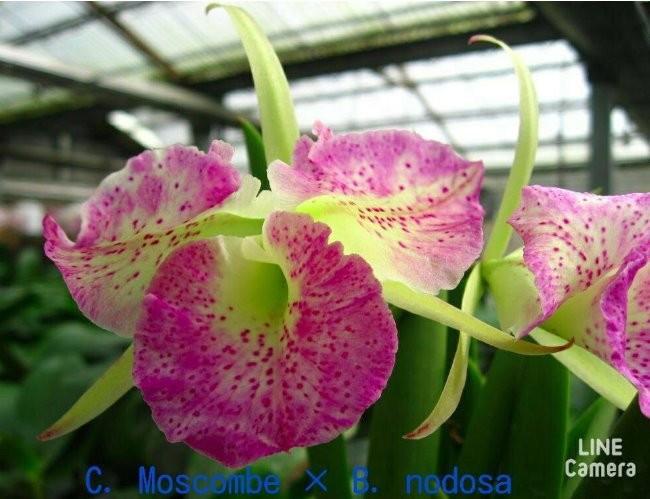 """Орхидея азиатская. Под Заказ! C. Moscombe × B. Nodosa. Размер: 2.5""""."""