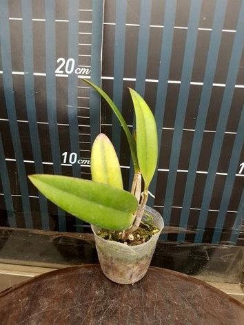 "Орхидея азиатская. Под Заказ! C. neokantskyi × L. jongheana. Размер: 2.5""., фото 2"