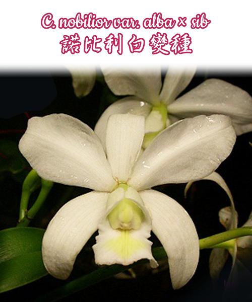 """Орхидея азиатская. Под Заказ! C. nobilior var. alba × sib. Размер: 1.7""""."""
