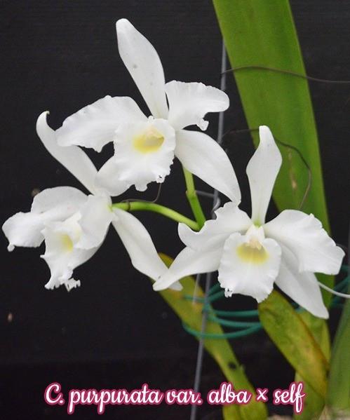 "Орхидея азиатская. Под Заказ! C. purpurata var. alba × self. Размер: 3""."