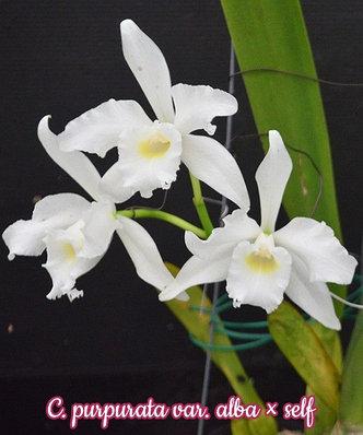 """Орхидея азиатская. Под Заказ! C. purpurata var. alba × self. Размер: 3""""., фото 2"""