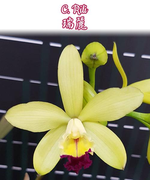 """Орхидея азиатская. Под Заказ! C. Rili. Размер: 3""""."""