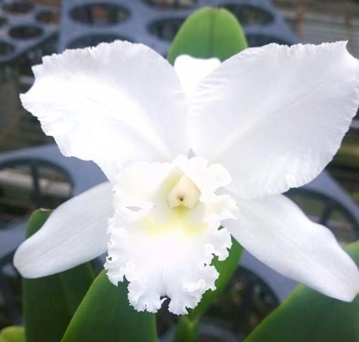 """Орхидея азиатская. Под Заказ! C. Ruth shepherd × C. Jean Marie skelly. Размер: 3.5""""."""