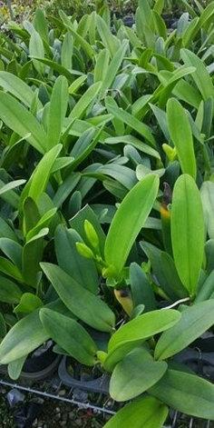 """Орхидея азиатская. Под Заказ! C. Ruth shepherd × C. Jean Marie skelly. Размер: 3.5""""., фото 2"""