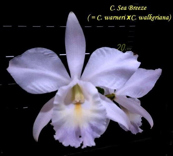 """Орхидея азиатская. Под Заказ! C. Sea Breeze (C. warneri × C. walkeriana). Размер: 2.5""""."""