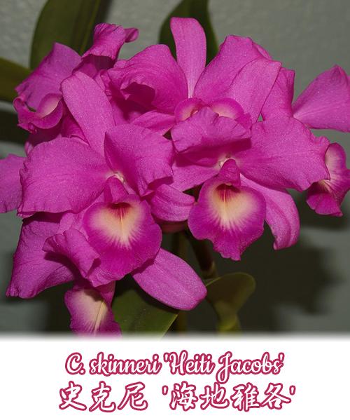 """Орхидея азиатская. Под Заказ! C. skinneri """"Heiti Jacobs"""". Размер: 2.5""""."""