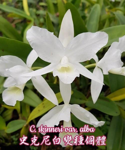 """Орхидея азиатская. Под Заказ! C. skinneri var. alba. Размер: 3""""."""