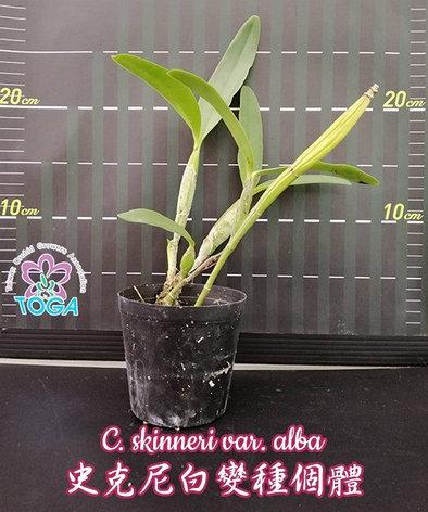 """Орхидея азиатская. Под Заказ! C. skinneri var. alba. Размер: 3""""., фото 2"""