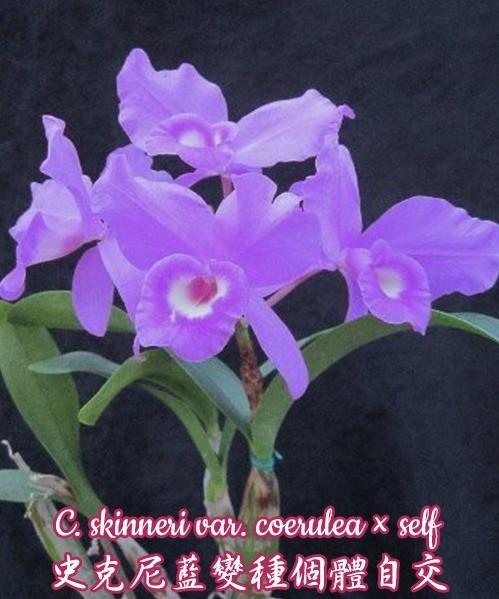 """Орхидея азиатская. Под Заказ! C. skinneri var. coerulea × self. Размер: 2.5"""" / 3.5""""."""