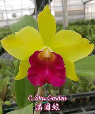 """Орхидея азиатская. Под Заказ! C. Star Garden. Размер: 2.5"""" / 4.5""""., фото 2"""