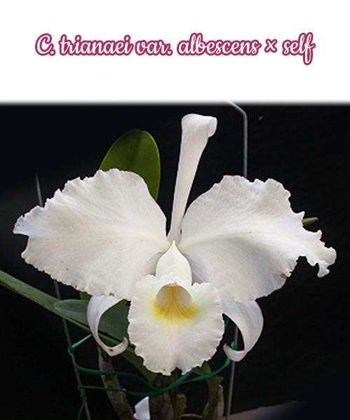 """Орхидея азиатская. Под Заказ! C. trianaei var. albescens × self. Размер: 2.5""""."""