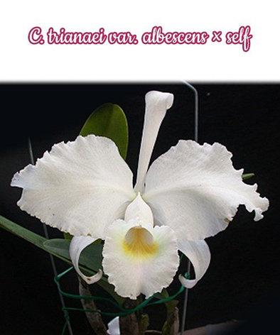 "Орхидея азиатская. Под Заказ! C. trianaei var. albescens × self. Размер: 2.5""., фото 2"