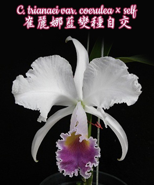 "Орхидея азиатская. Под Заказ! C. trianaei var. coerulea × self. Размер: 2.5""."