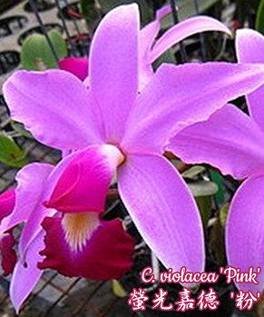 """Орхидея азиатская. Под Заказ! C. violacea """"Pink"""". Размер: 2.5""""., фото 2"""