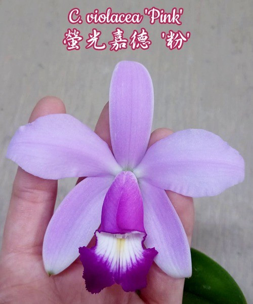 """Орхидея азиатская. Под Заказ! C. violacea """"Pink"""". Размер: 2.5""""."""