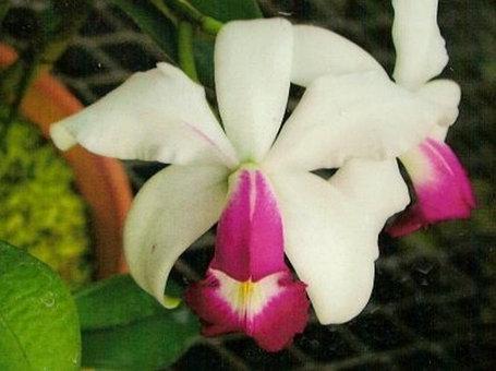 """Орхидея азиатская. Под Заказ! C. violacea var. semi-alba × sib. Размер: 2.5""""., фото 2"""