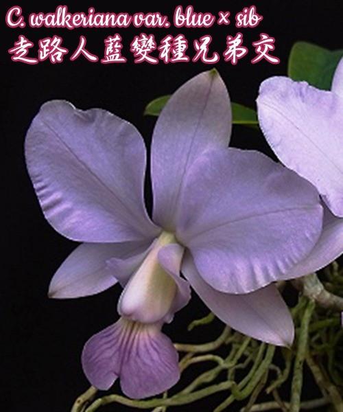 Орхидея азиатская. Под Заказ! C. walkeriana blue × sib. Размер: Cork.