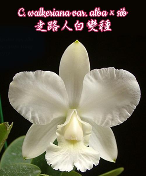 """Орхидея азиатская. Под Заказ! C. walkeriana var. alba × sib. Размер: 2.5""""."""