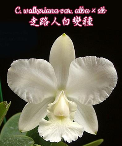 """Орхидея азиатская. Под Заказ! C. walkeriana var. alba × sib. Размер: 2.5""""., фото 2"""