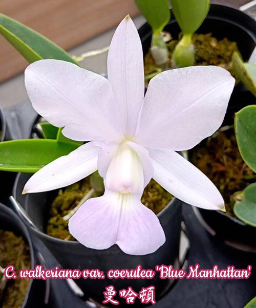 """Орхидея азиатская. Под Заказ! C. walkeriana var. coerulea """"Blue Manhattan"""". Размер: 2""""."""
