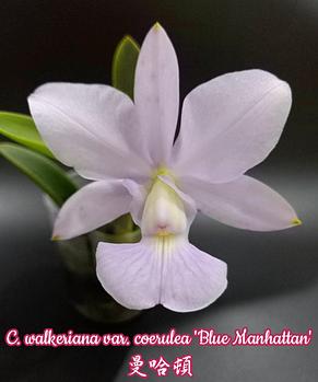 """Орхидея азиатская. Под Заказ! C. walkeriana var. coerulea """"Blue Manhattan"""". Размер: 2""""., фото 2"""