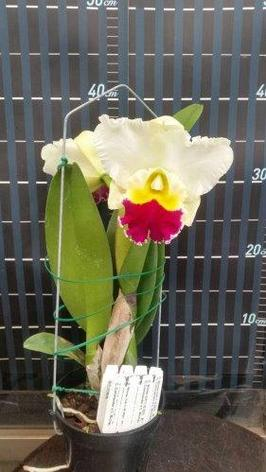 "Орхидея азиатская. Под Заказ! C. Winter Gift × sib (C. Commander × C. Michael Collins). Размер: 2.5""., фото 2"