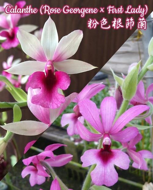 """Орхидея азиатская. Под Заказ! Calanthe (Rose Georgene × First Lady). Размер: 2.5"""" / 3""""."""