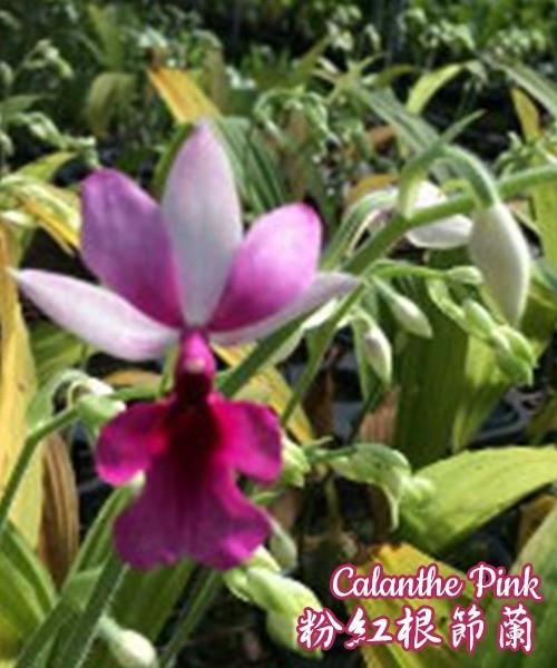 """Орхидея азиатская. Под Заказ! Calanthe Pink. Размер: 3.5""""."""