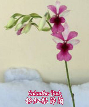 """Орхидея азиатская. Под Заказ! Calanthe Pink. Размер: 3.5""""., фото 2"""