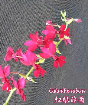 """Орхидея азиатская. Под Заказ! Calanthe rubens. Размер: 2.5"""" / 3""""., фото 2"""