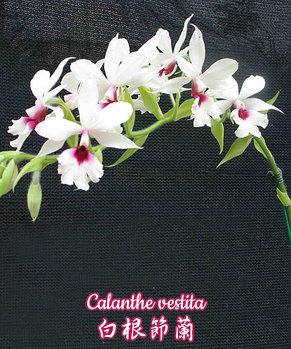 """Орхидея азиатская. Под Заказ! Calanthe vestita. Размер: 2.5"""" / 3""""., фото 2"""