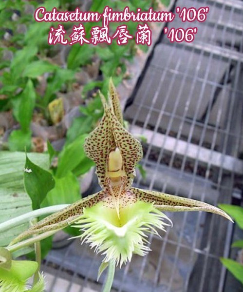 """Орхидея азиатская. Под Заказ! Catasetum fimbriatum """"106"""". Размер: 2.5""""."""