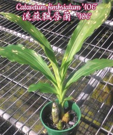 """Орхидея азиатская. Под Заказ! Catasetum fimbriatum """"106"""". Размер: 2.5""""., фото 2"""