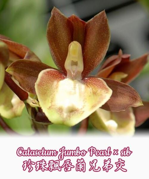 "Орхидея азиатская. Под Заказ! Catasetum Jumbo Pearl × sib. Размер: 2.5"" / 3""."