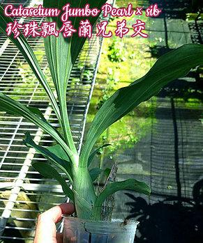 """Орхидея азиатская. Под Заказ! Catasetum Jumbo Pearl × sib. Размер: 2.5"""" / 3""""., фото 2"""
