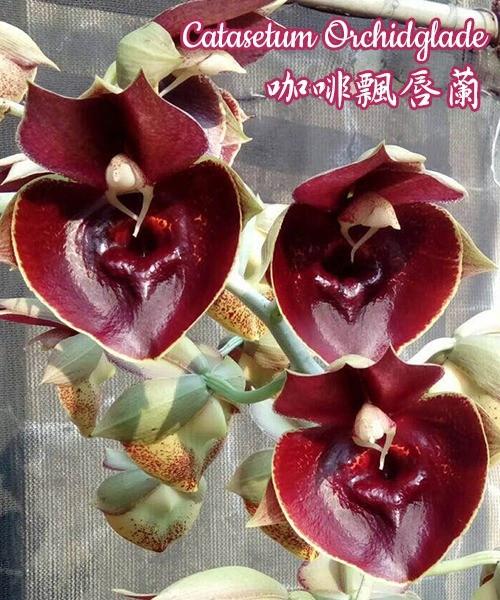 "Орхидея азиатская. Под Заказ! Catasetum Orchidglade. Размер: 2"" / 2.5"" / 3.5""."