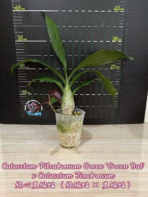 "Орхидея азиатская. Под Заказ! Catasetum Pileabrosum Green ""Green Bat"" x Catasetum Tenebrosum. Размер: 3""., фото 2"