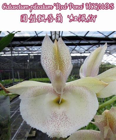 "Орхидея азиатская. Под Заказ! Catasetum pileatum ""Red Pena"" HCC/AOS. Размер: 2.5"" / 3""., фото 2"