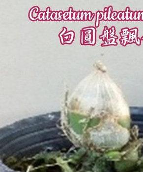 "Орхидея азиатская. Под Заказ! Catasetum pileatum var. alba. Размер: 2""., фото 2"