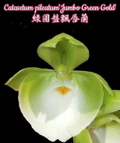 """Орхидея азиатская. Под Заказ! Catasetum pileatum """"Jumbo Green Gold"""". Размер: 2.5""""., фото 2"""