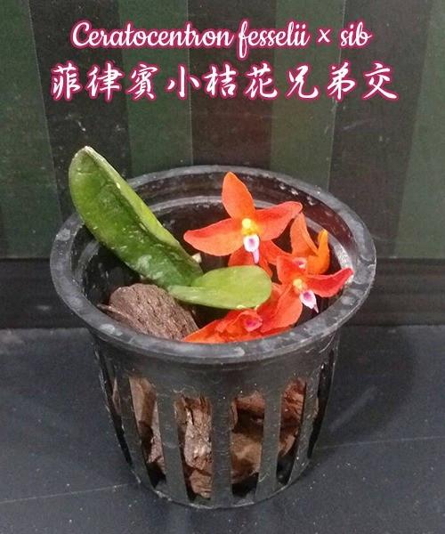 """Орхидея азиатская. Под Заказ! Ceratocentron fesselii × sib. Размер: 1.5""""."""
