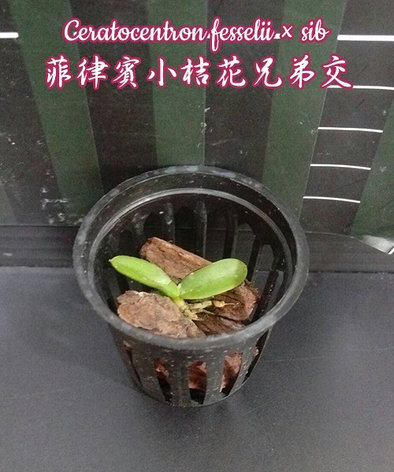 """Орхидея азиатская. Под Заказ! Ceratocentron fesselii × sib. Размер: 1.5""""., фото 2"""
