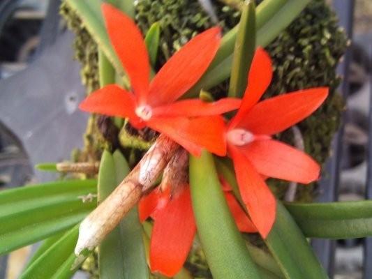 """Орхидея азиатская. Под Заказ! Ceratostylis rubra × sib. Размер: 2.5""""."""