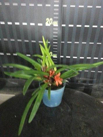 "Орхидея азиатская. Под Заказ! Ceratostylis rubra × sib. Размер: 2.5""., фото 2"