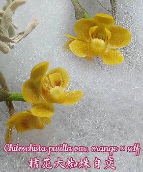 Орхидея азиатская. Под Заказ! Chiloschista pusilla var. orange × self. Размер: Bare root., фото 2