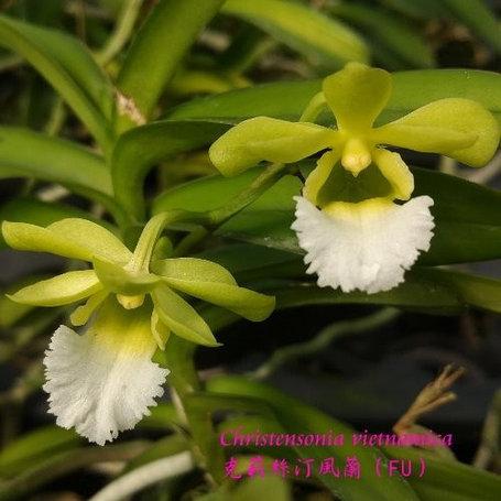 "Орхидея азиатская. Под Заказ! Christensonia vietnamica × sib. Размер: 2""., фото 2"