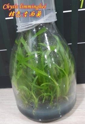 Орхидея азиатская. Под Заказ! Chysis limminghei. Размер: flask., фото 2