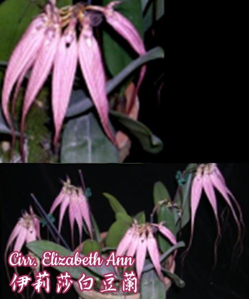 """Орхидея азиатская. Под Заказ! Cirr. Elizabeth Ann. Размер: 2.5""""."""