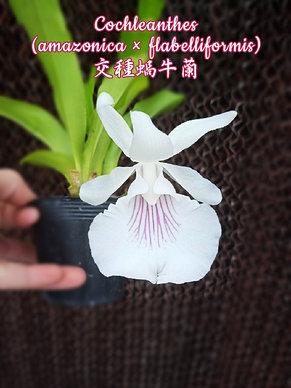 "Орхидея азиатская. Под Заказ! Cochleanthes (amazonica × flabelliformis). Размер: 2.5""., фото 2"